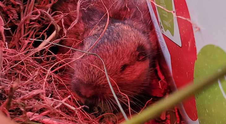SB Wildlife Care Network's Patient of the Week: Botta's pocket gopher title=