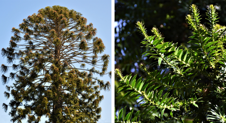 August Tree of the Month: Bunya Bunya