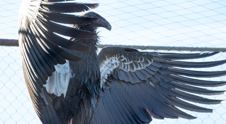 Santa Barbara Zoo Welcomes 3 New California Condors