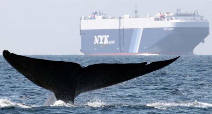 Global Shipping Companies Slowed Transits to Protect Blue Whales and Blue Skies