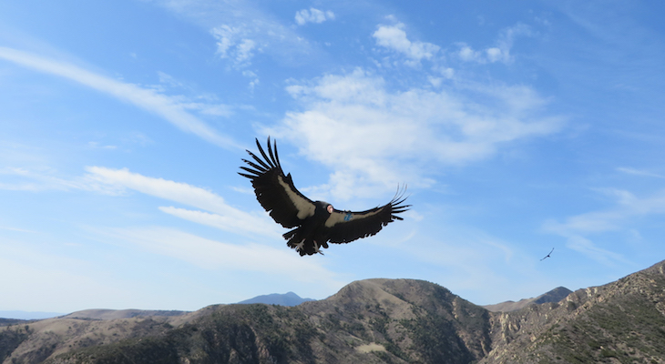 Watch Newly Hatched California Condor Chick on Condor Cam title=