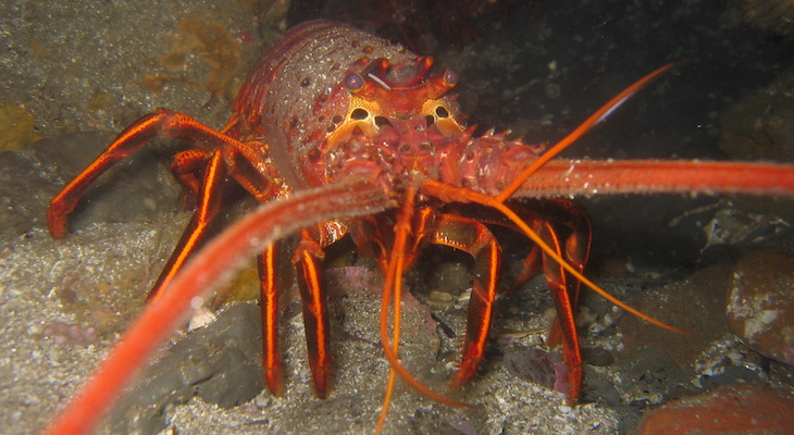 Coast Guard Urges Caution During Spiny Lobster Season