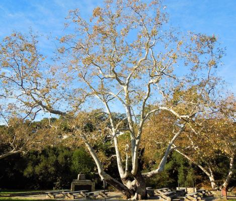 January Tree of the Month: California Sycamore