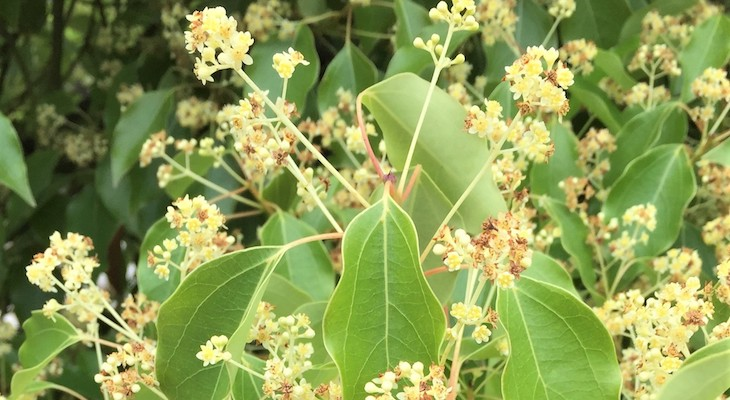 May Tree of the Month: Camphor Tree title=