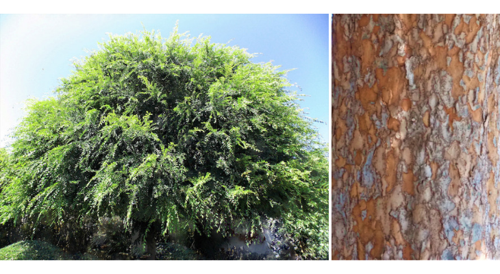 August Tree of the Month: Chinese Elm
