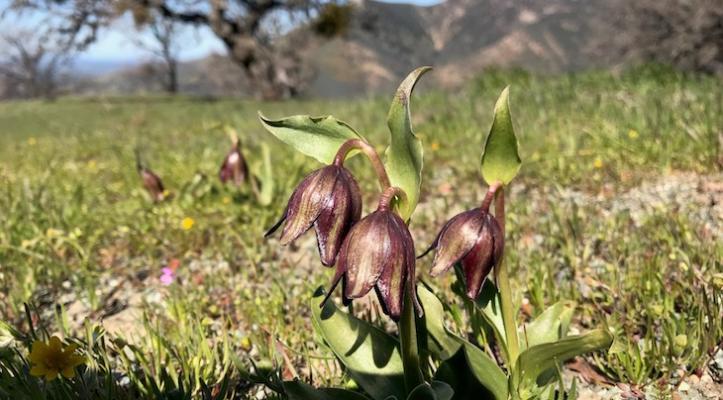 Figueroa Mountain Wildflower Status