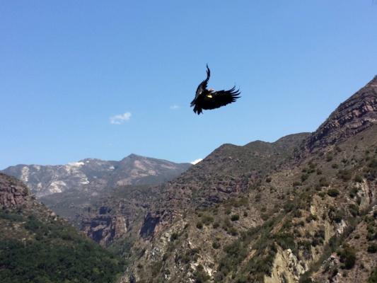 Wild California Condor Chick on Live Webcam title=