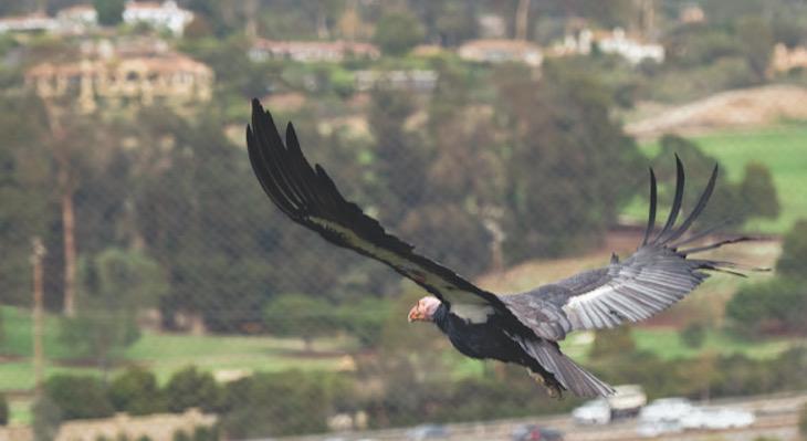 New Book on Condor Comeback Features Santa Barbara Zoo Team title=