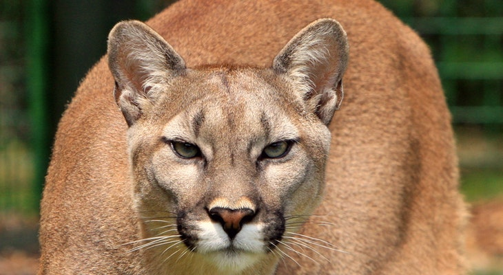 Mountain Lion Seen Eating Deer on Lompoc Golf Course title=