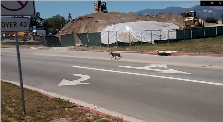 Sighting of Coyote near Storke Family Student Housing