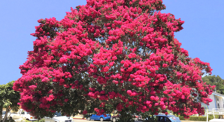Tree of the Month: Crape Myrtle title=