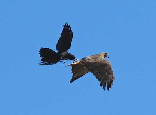 Crow vs Hawk: A Battle in the Sky title=