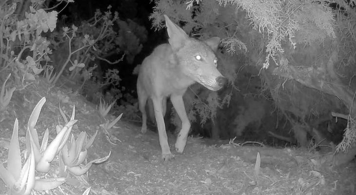 Curious Coyote Roams Through Backyard title=
