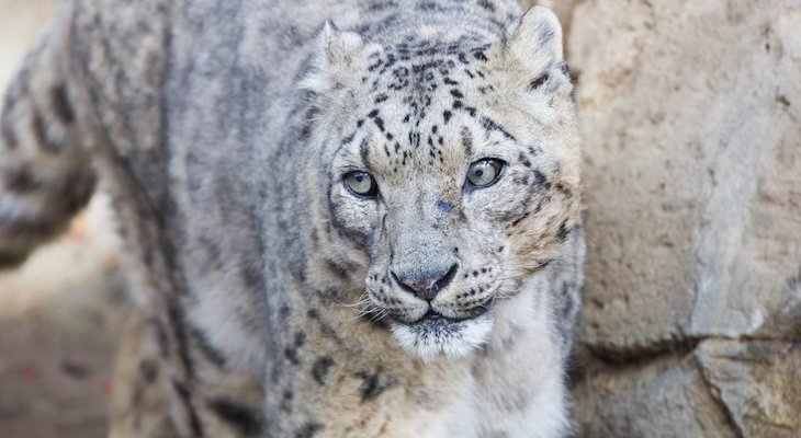 World's Oldest Snow Leopard Dies at Santa Barbara Zoo title=