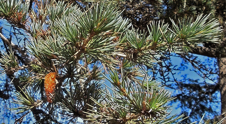 November Tree of the Month: Deodar Cedar title=