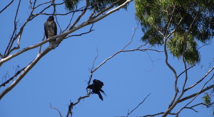 Crow vs Hawk