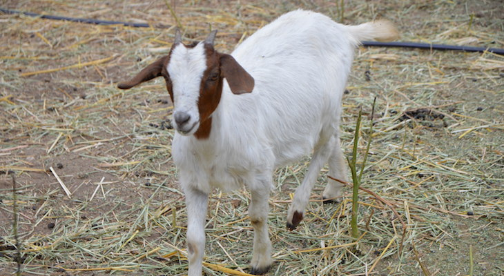 Goats Return to Valle Verde