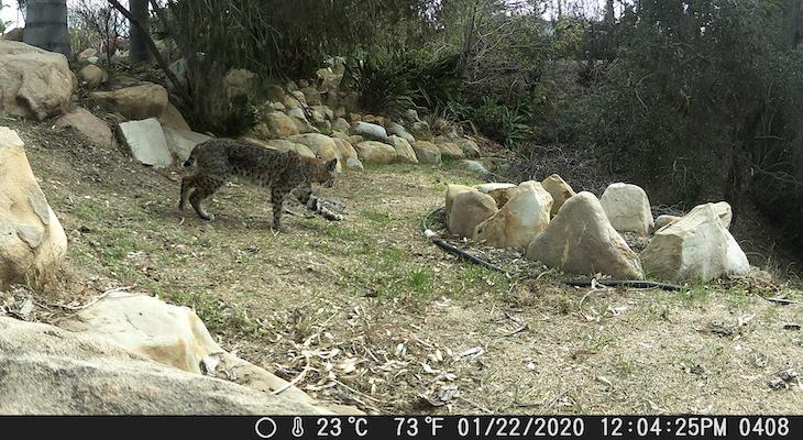 Bobcat Visitors