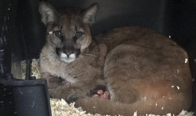 Mountain Lion Cub Recovering from Thomas Fire title=
