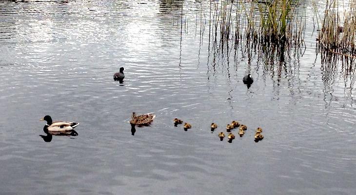 Duckling Sighting at Lake Los Carneros