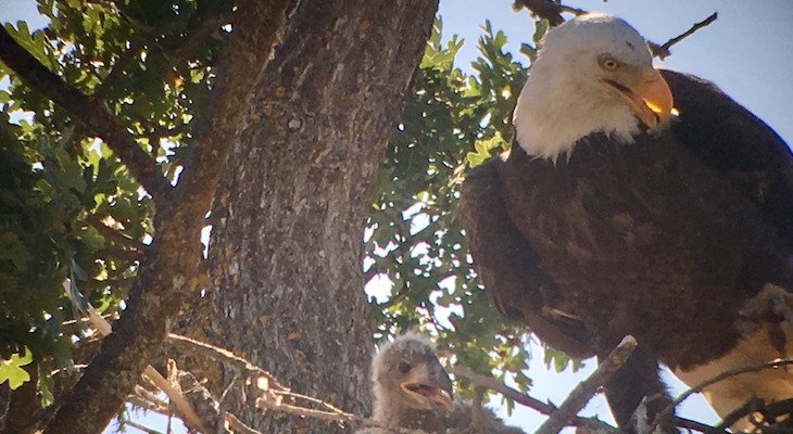 Central Coast Bald Eagles Now Fully Restored