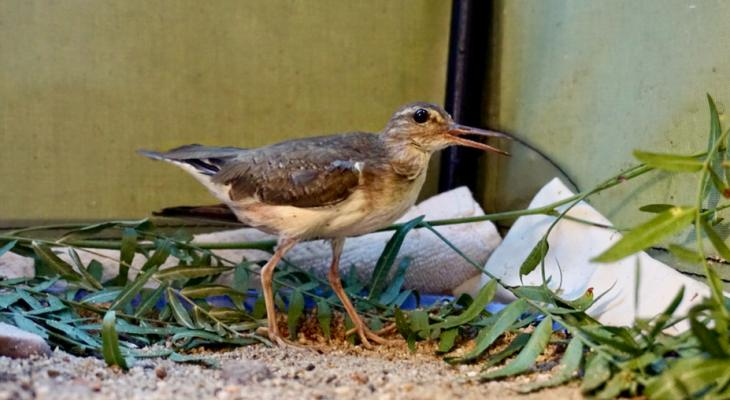 Spotted Sandpiper: SB Wildlife Care Network's Patient of the Week