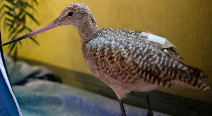 Marbled Godwit: SB Wildlife Care Network's Patient of the Week title=