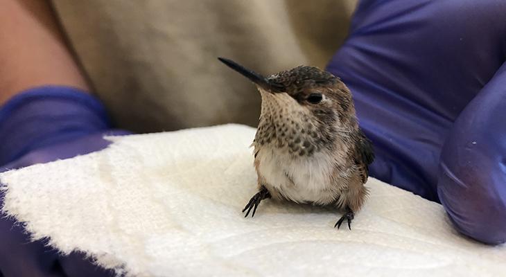 SB Wildlife Care Network's Patient of the Week: Allen's Hummingbird title=