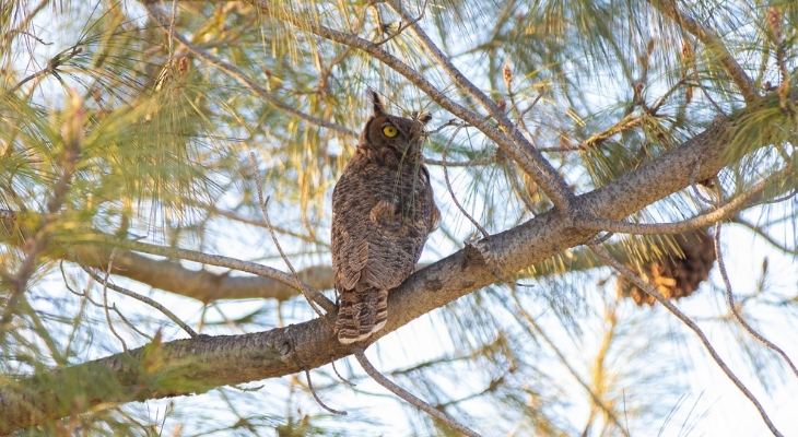 Great Horned Owl: SB Wildlife Care Network's Patient of the Week title=