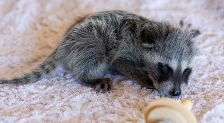 Baby Raccoon: SB Wildlife Care Network's Patient of the Week title=