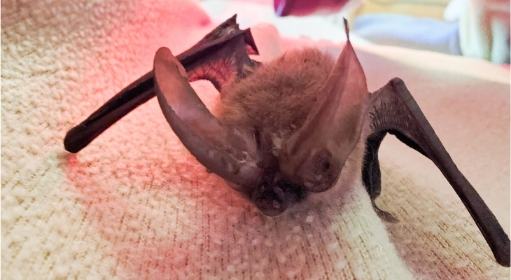 SB Wildlife Care Network's Patient of the Week: Townsend's Big-eared Bat