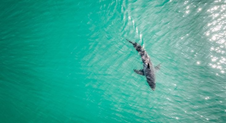 Sharks Captured on Drone Footage at Santa Claus Beach title=