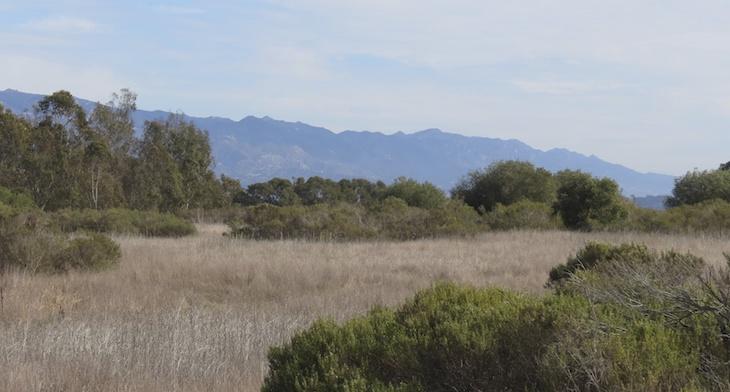 Sick Trees at Ellwood Mesa – Temporary Trails Closures Forthcoming
