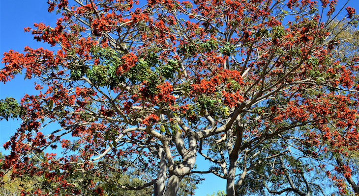 April Tree of the Month: African Coral Tree title=