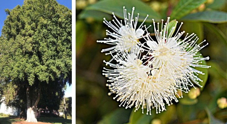 November Tree of the Month: Eugenia title=