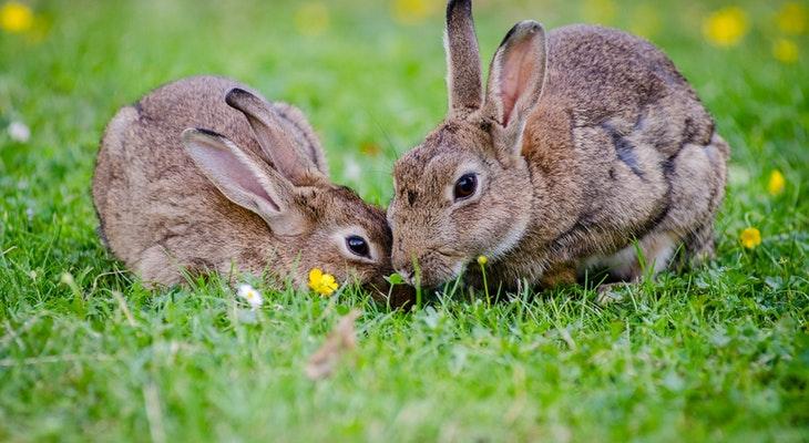 Abandoned Rabbits on Figueroa Mountain