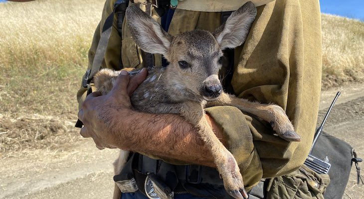 Fawn Rescued from Hollister Ranch Fire