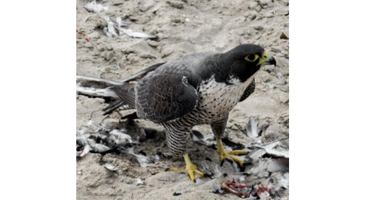 Peregrine falcon lunching on pigeon at Goleta Beach title=