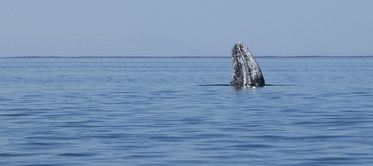 Gray Whale Strandings Highlight Importance Of Increased Ocean Protection title=