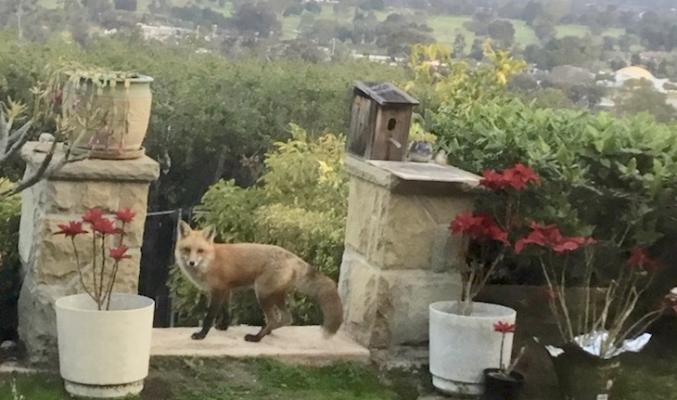 Fox in Bel Air Backyard