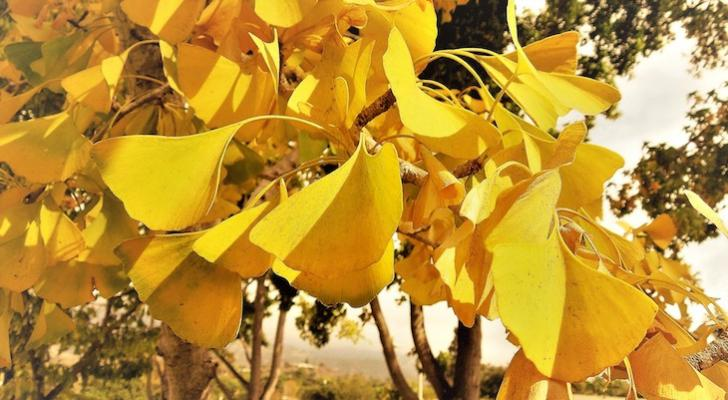 Tree of the Month: Ginkgo Tree title=