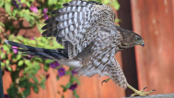Hawks Pay a Visit