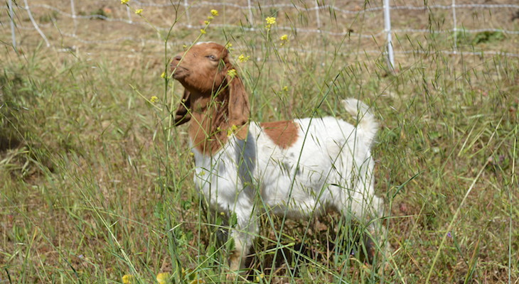Valle Verde Hosts Goats for Brush Clearance