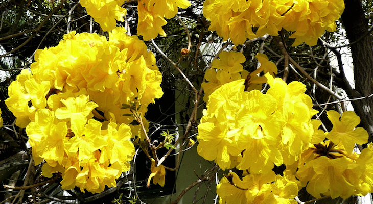 March Tree of the Month: Golden Trumpet title=