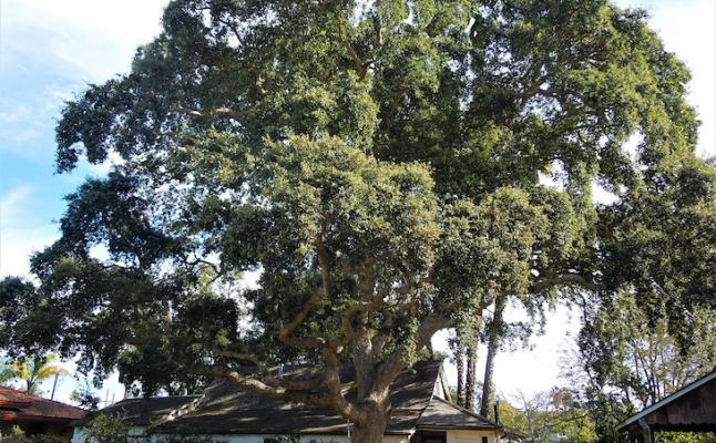 February Tree of the Month: Cork Oak title=
