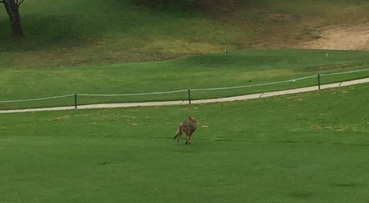 Coyote on Municipal Golf Course
