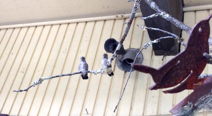 Hummingbird Chicks at Terra Sol Nursery