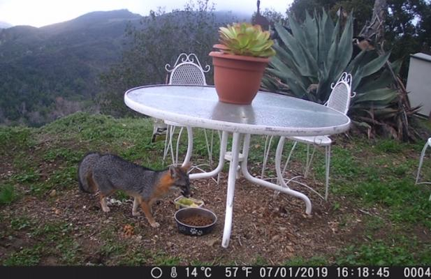 Rare Island Fox Seen on Gaviota Coast title=