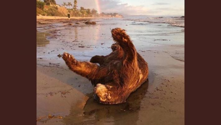 Dead Bear Found on the Beach title=