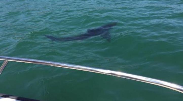 Great White Shark Off Padaro title=